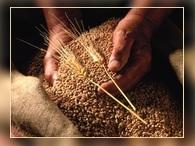 В 2014 году планируют собрать 104 миллиона тонн зерна