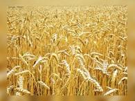 Россия вытесняет США на рынке зерна