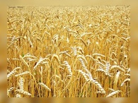 Запрета на вывоз зерна не будет