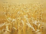 Минсельхоз уточнил прогноз по вывозу пшеницы