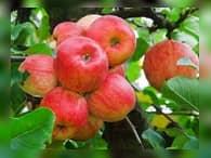 Вводятся ограничения на поставки яблок из Сербии