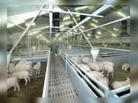 «Сибирская аграрная группа» увеличит мощности свинокомплекса