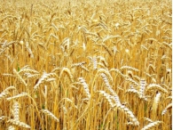 Пшеница подорожала на фоне неблагоприятных погодных условий в России