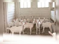 Под Калугой появится новая ферма по разведению коз