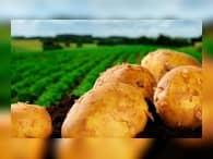 Россия и Китай намерены создать в Сибири картофельный центр