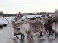 Гранты по 2,5 млн рублей получили производители оленины и рыбы на Ямале