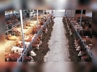 На западном побережье Камчатки создана первая за 20 лет животноводческая ферма