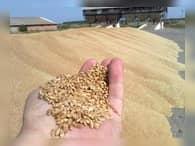 Новосибирская область может перерабатывать треть своего зерна