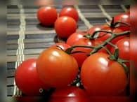 Россия сняла ограничения по числу поставщиков турецких помидор