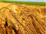 Фьючерсы на пшеницу подешевели из-за ожидающегося хорошего урожая в России и на Украине