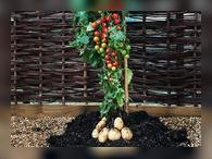 Гибрид картофеля и томата (томтато)