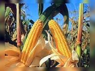 Кукуруза подорожала до четырехмесячного максимума
