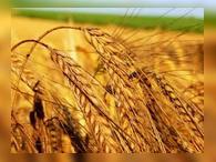 Пшеница подорожала из-за морозов в США